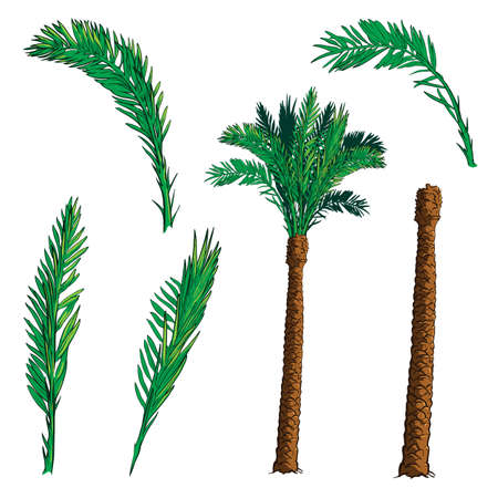 date palm tree: Isolated leaves of 4 various shapes and trunk  for creating customized Date palm tree.