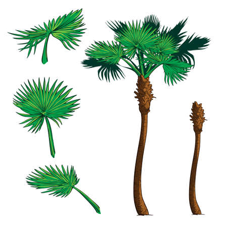 subtropics: Isolated leaves of 3 various shapes and trunk  for creating customized Sabal palm tree Illustration