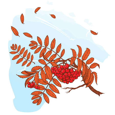 rowanberry: Wind stripping leaves off the Rowanberry branch. Autumn mood. Hand drawn sketch with watercolor imitation. EPS10 vector illustration. Illustration