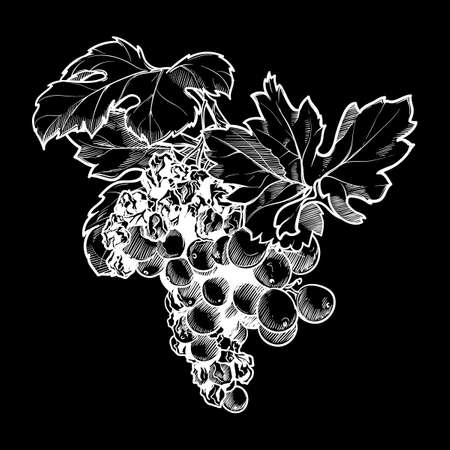 Grapes cluster with leaves. White linear drawing isolated on black background. EPS10 vector illustration