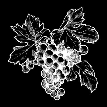 Grapes cluster with leaves. Linear drawing. Chalk on a blackboard. EPS10 vector illustration Ilustrace