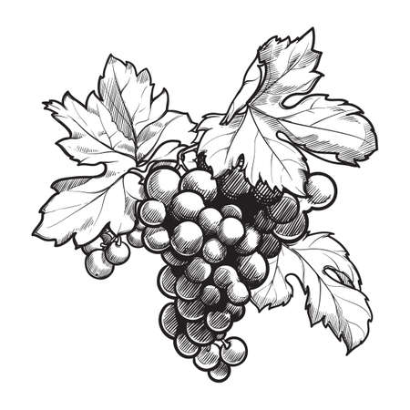 Grapes cluster with leaves. Ink style black and white drawing isolated on white background. EPS10 vector illustration