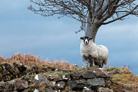 Single watchful white sheep standing on the rocks