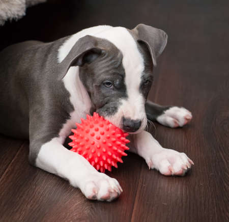 White and Grey dog laying down with red ball photo