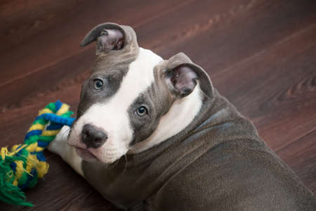 bull terrier: White and Grey dog laying down with colored toy