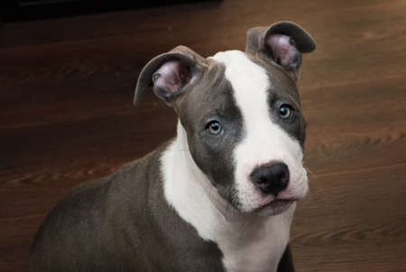 bull terrier: White and Grey dog sitting on brown wooden floor