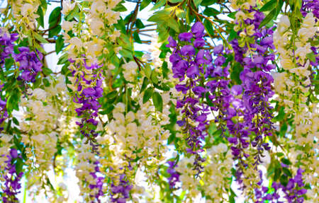 White and purple hanging flowers background. Beautiful floral decoration for wedding ceremony
