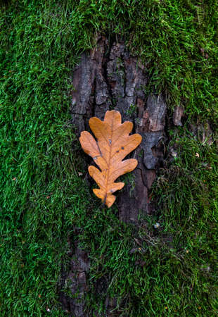 Ecology concept. Yellow oak leaf on the bark of a tree covered with green moss