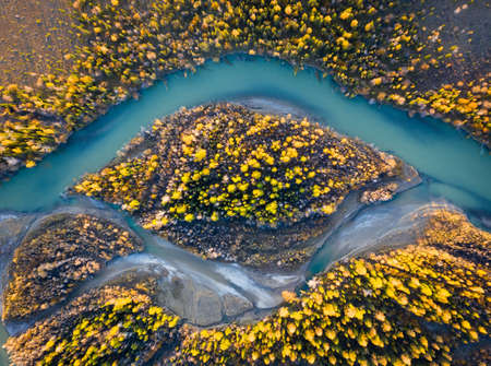 Yellow Larches on Island and Chuya River in Autumn. Aerial Vertical Top-Down View. Kurai Steppe, Altai, Russia.