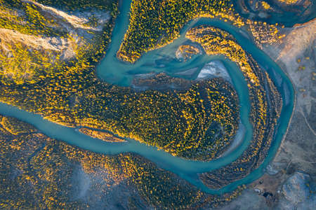 Yellow Larches and Meander of Chuya River in Autumn. Aerial Vertical Top-Down View. Kurai Steppe, Altai, Russia