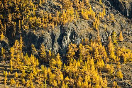 Yellow Larches in Autumn and Cliffs. Altai, Russia. Archivio Fotografico