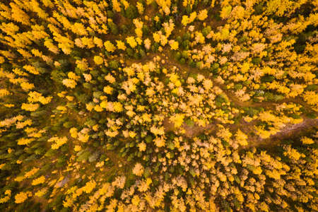 Larch Forest in Autumn. Aerial Top-Down View. Altai, Russia.