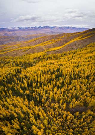 Kurai Steppe, Yellow Larches and Kurai Ridge in Autumn. Altai Mountains, Russia
