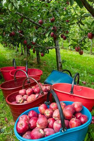Manzanas Royal Gala en el huerto