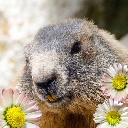 marmot of the alps with daisy