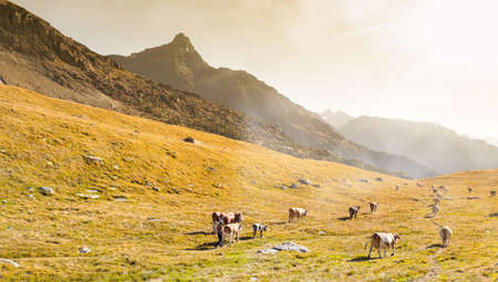 transhumance of cattle in the Italian Alps