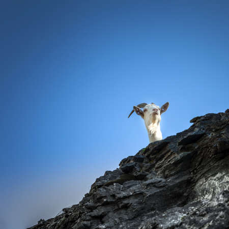typical goat of the Italian Alps Banque d'images