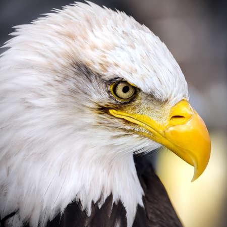 American Eagle - portrait - gros plan