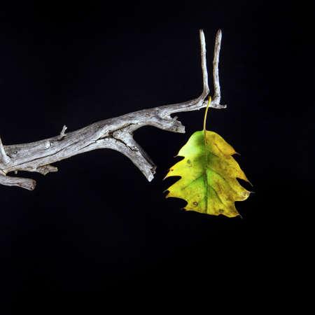 seule feuille à feuilles caduques - gros plan Banque d'images