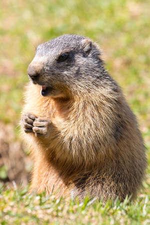 marmot of the Italian Alps