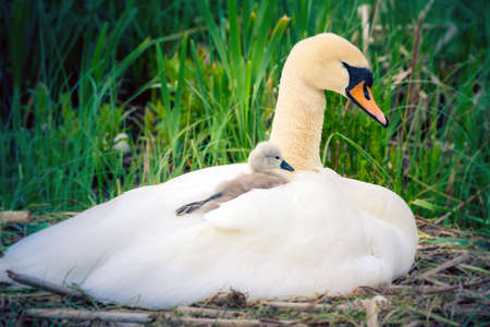 Mute Swan with chick - details