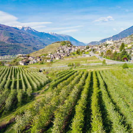 Tresivio, Valtellina , Italy - Apple orchard in spring - Aerial view Reklamní fotografie