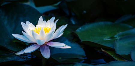 small pond with water lilies Stock Photo