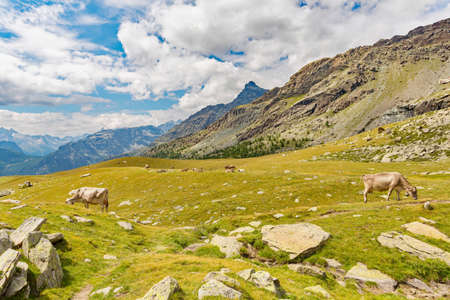 cows grazing in the high mountains