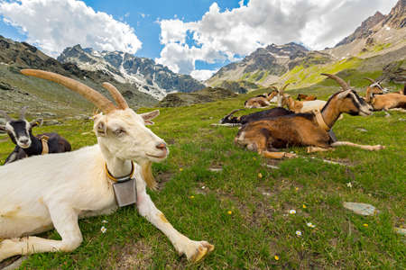Goats grazing in the high mountains