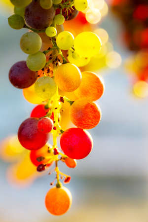 bunch of multicolored grapes, close up
