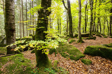 bright undergrowth with beech trees Archivio Fotografico