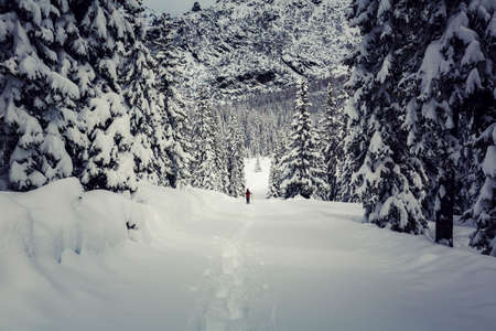 Valmalenco (IT), Snowshoe hike in fresh snow in the pine forest