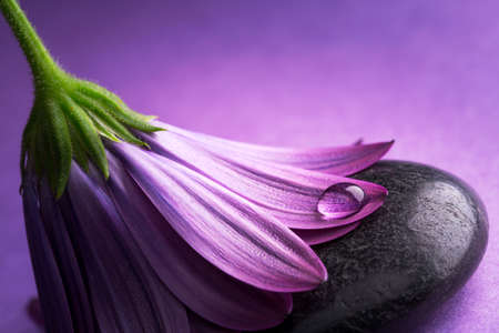 flower with purple petals with dewdrop