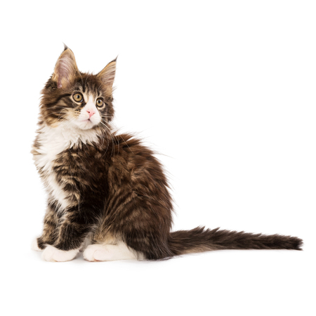 Maine coon kitten isolated on white background Stock Photo