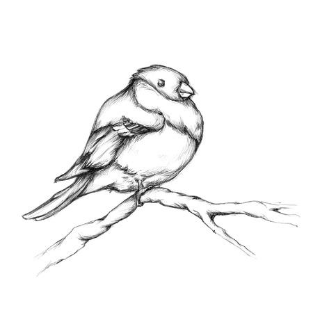 bullfinch: Illustration of a bullfinch on a branch