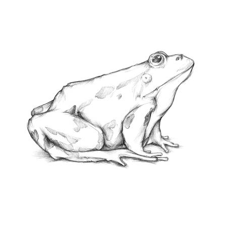 quack: Frog Stock Photo