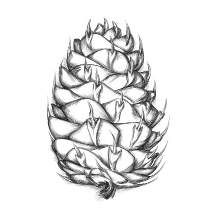 Illustration of a cone of a Douglas fir