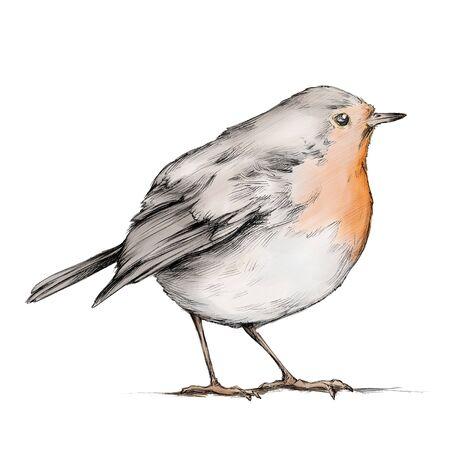 Illustration of a Robin, songbird