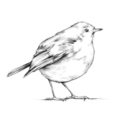 Illustration of a Robin, songbird