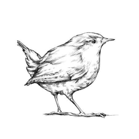 Illustration of a Wren, a songbird