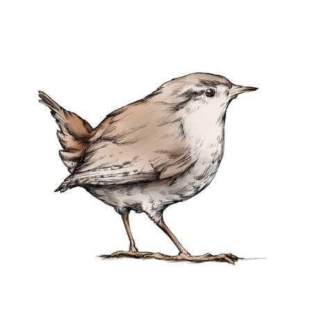Illustration of a Wren, a songbird