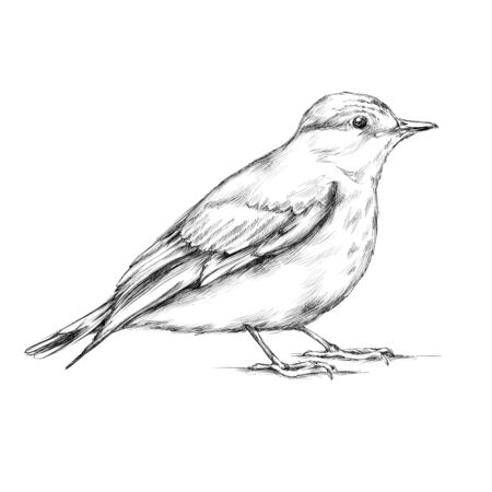 Illustration of a spotted Flycatcher
