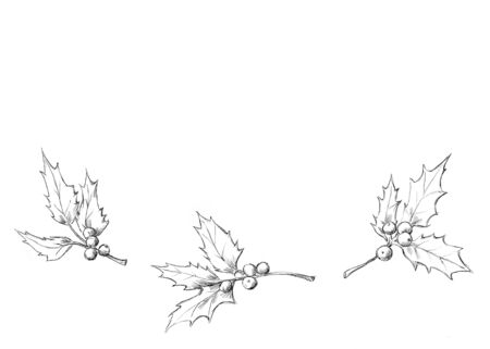 Illustration of Ilex branches, illustration without color