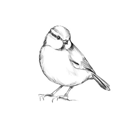 Illustration of a Titmouse, bird
