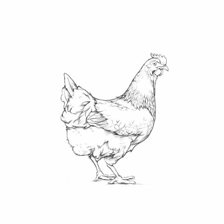 Illustration of a Chicken, farm animal Фото со стока