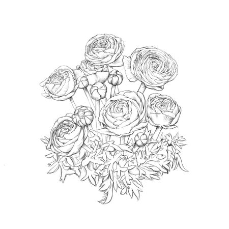 Illustration of some ranunculus