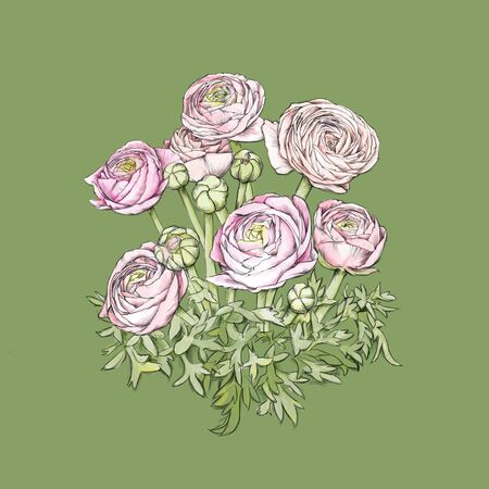Illustration of some pink ranunculus