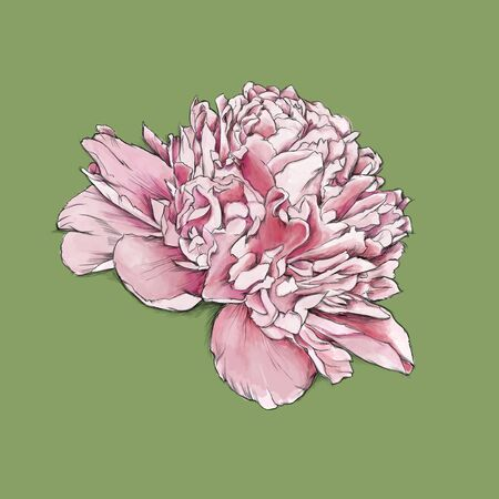 Illustration of a Pink peony