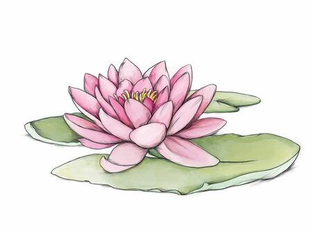Illustration of a pink water lily