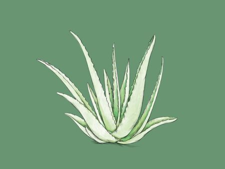 Illustration of a Light green aloe vera on a green background